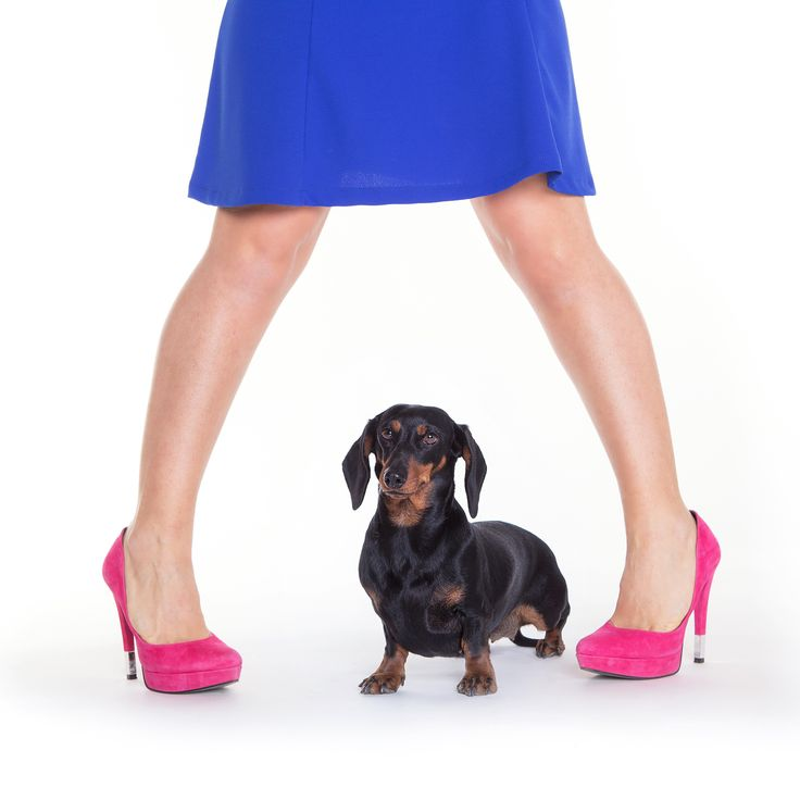 Dachshund & shoes - null