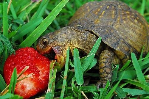 Tortoise Loves Strawberry !! pic.twitter.com/OUFZ3GHvXJ