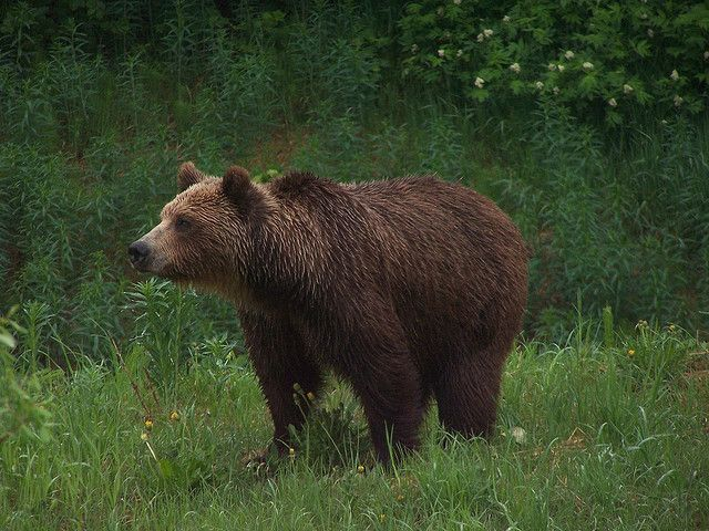 sow grizzly on the way to Hyder Alaska