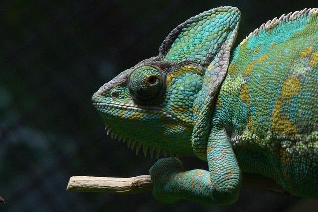 """Berlin Germany Aquarium Chamäleon chameleon """"Lens Nikon 16-85mm f/3.5-5.6G ED VR DX AF-S Nikkor"""" by globetrotter_rodrigo, via Flickr"""