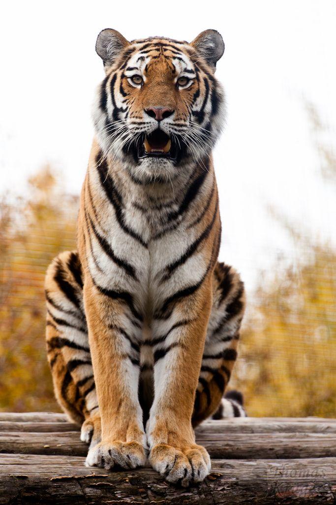 Sibirischer Tiger   by CROW1973