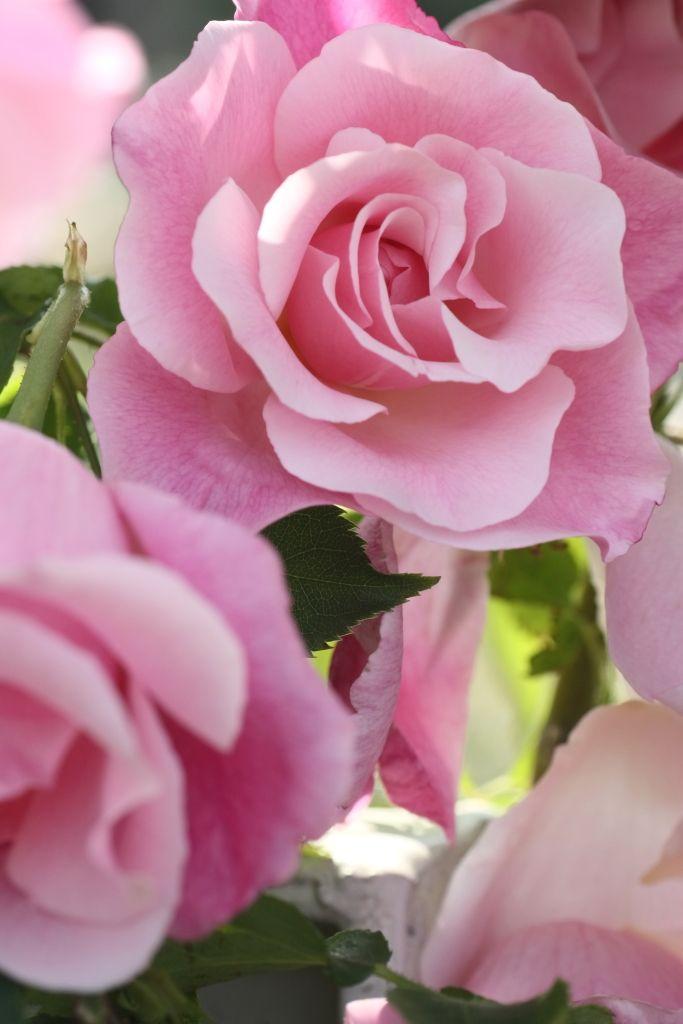 Large-flowered Climbing Hybrid Tea Rose: Rosa 'Madame Grégoire Staechelin' AKA…