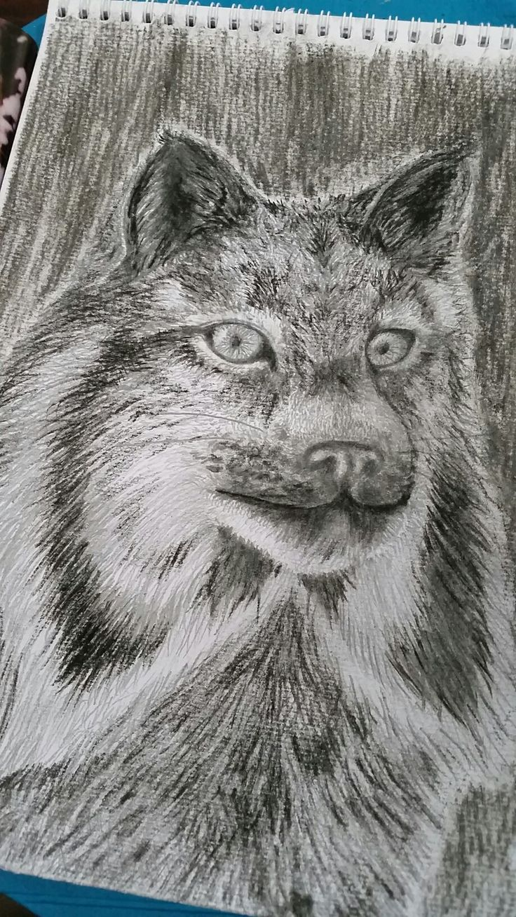 Lynx charcoal and pencil