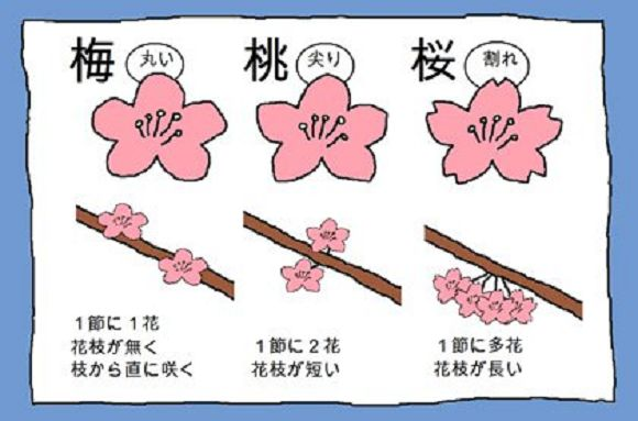How to tell plum, peach, and cherry blossoms apart.