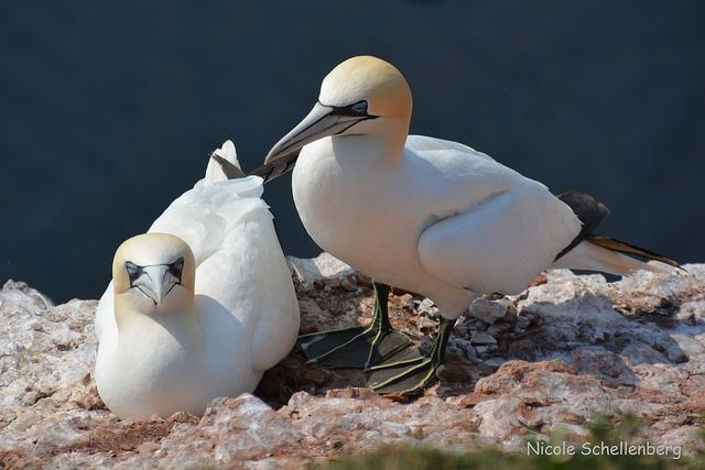 Basstölpel, Helgoland.  Northern Gannet in the Helgoland archipelago, North Sea by Nicole Sch.