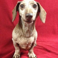 Frisco is an adoptable Dachshund Dog in Hudson, NH. Deaf, old and heart of gold, Frisco is 7+ years old and weighs 17 pounds. He mostly likes to sit on your lap and watch life go by. He is such a sw...