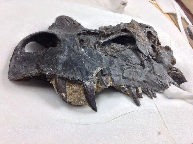 Twitter / Laelaps: The holotype skull of ...