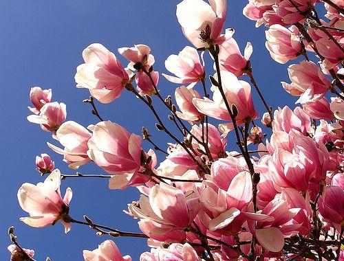 Where do magnolia trees usually grow?