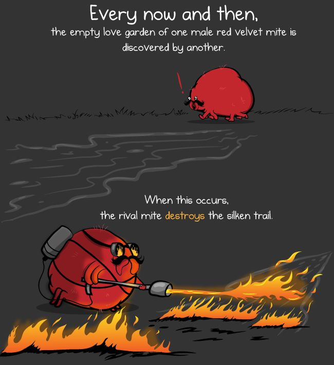 This is a red velvet mite and he is here to teach you about love - The Oatmeal