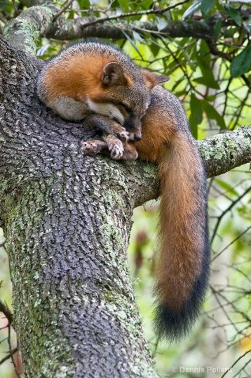 Fox-  Grey Fox on a limb showing black tail stripe