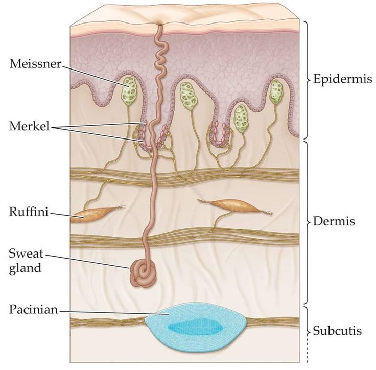 42 best Chapter5: The integumentary system images on Pinterest ...