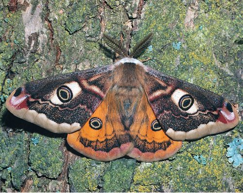 onalandmine: small emperor moth - wrinkle me deep, o loved one