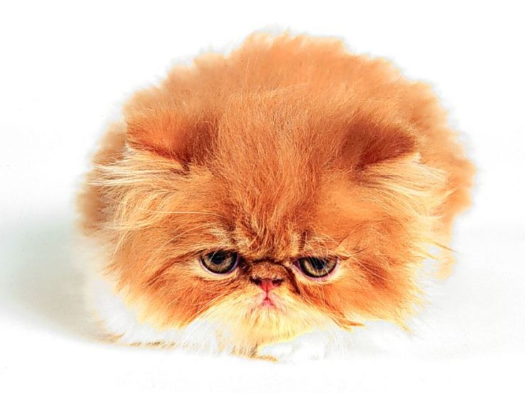 Pin By Carolina Santiago On Meow Kittens Cutest Fluffy Kittens