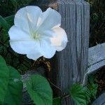 Propagating moonflower vine seeds is the only way to replicate the vines, as vegetative reproduction is not viable. Learn when and how to harvest and plant moonflower seeds in the article that follows to continually grow this plant in your garden. #gardenvinesarticles #gardenvineshowtogrow