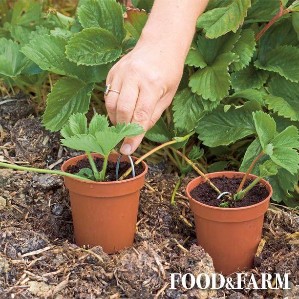 Ein Garten Tipp Fur Euch Erdbeeren Vermehren In 2020 Erdbeeren Vermehren Pflanzen Ackerbau