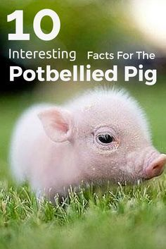 Did you know potbellied pigs are some of the most social creatures? Here are 10 facts to know about potbellied pigs!