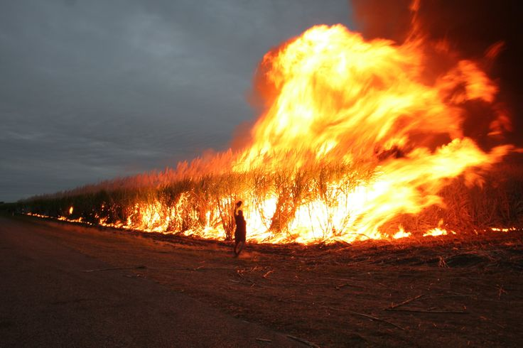 Burning sugar cane