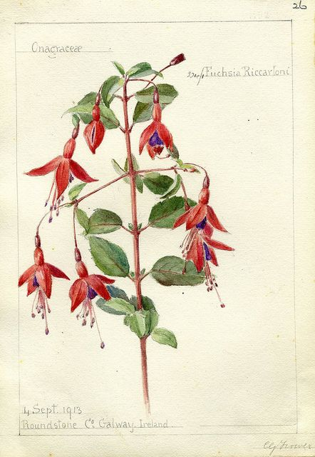 Fuschsia riccartoni Hort. County Galway, 1913 by peacay, via Flickr