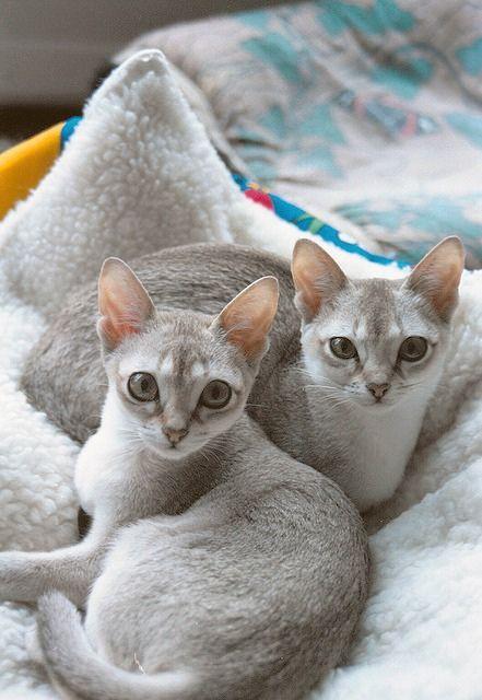 [Feline 101] Singapura Kittens