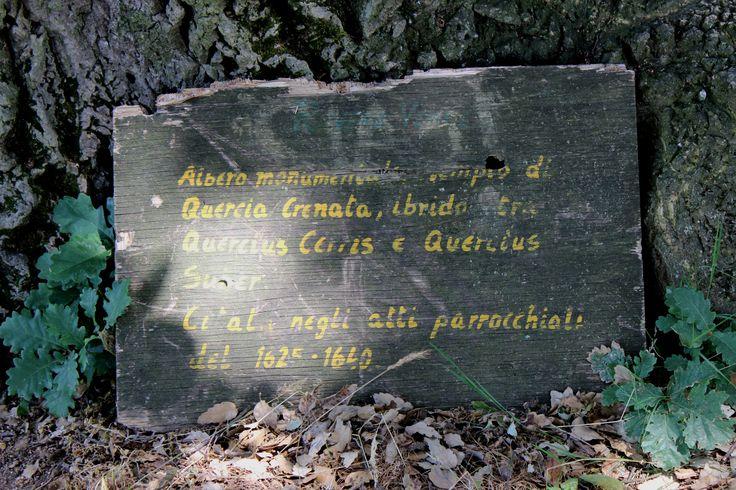 Quercia Crenata risalente al 1625 - 1640