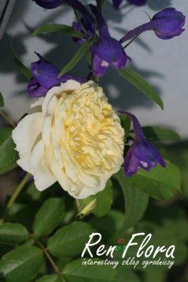 róża The Pilgrim