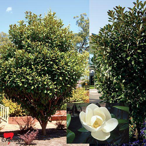 Little Gem Magnolia , fragrant, tree, shrub, hedge