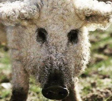 Mangalica to twoje nowe ulubione zwierzę. Świnia, która ma futro i wygląda jak owca