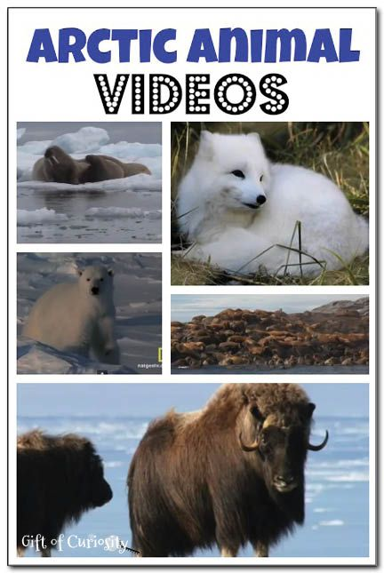 Arctic animal videos: short and long video clips showing Arctic animals in action. Great resources for an Arctic or polar regions unit! || Gift of Curiosity