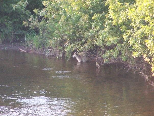 Raccoon Fishing - Petticodiac New Brunswick