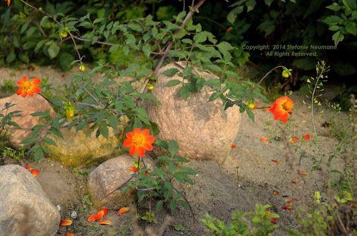 Rocking Autumn Colours © Stefanie Neumann | Google+  -  Let's bring some Autumn colours to these rocks in the #DahliaGardenHamburg!  #KBFPhotography #Dahlias