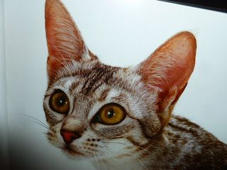 animali e natura : i gatti - le razze IL GATTO OCICAT