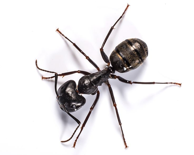 Carpenter Ant Control & Ant Removal Services | Waltham Services
