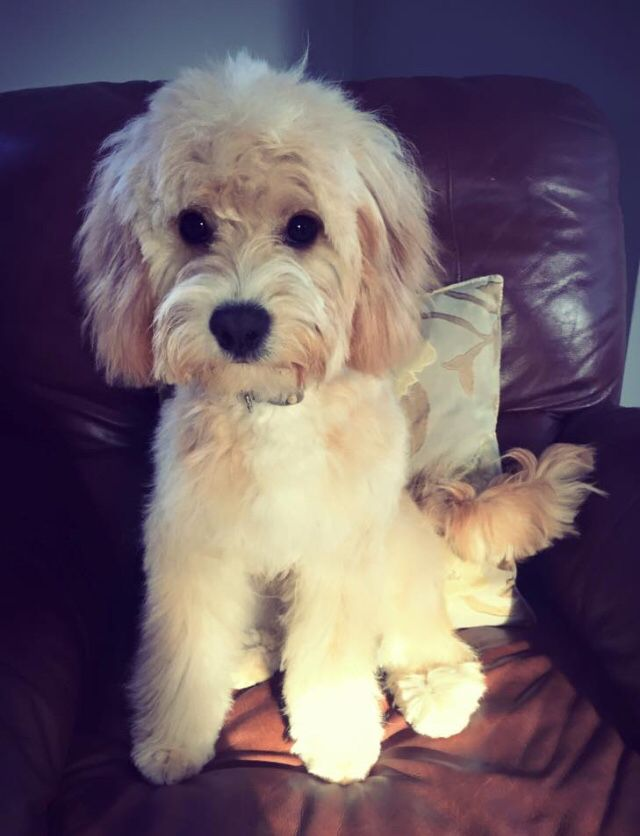 Our 7 month champagne Cavapoo after his first groom ...