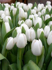 Просмотреть обои тюльпаны, цветы, белые, весна, красота, зелень 240x320
