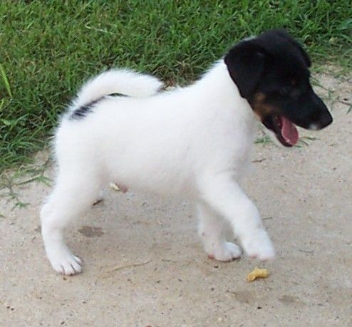 Smooth Fox Terrier puppy - - - -so much fun!