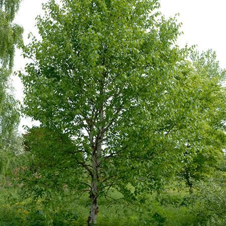Classic Ornamental Tree will Beautify Your Landscape - It is easy to understand why the 'Heritage' River Birch is such a popular tree. - Resistant to Common Birch Diseases - Fast growing (up to 2-3 feet a year). - Adapts to various soil types. - Quick source of shade with unique peeling bark This distinctive tree is easy to grow and can be found...