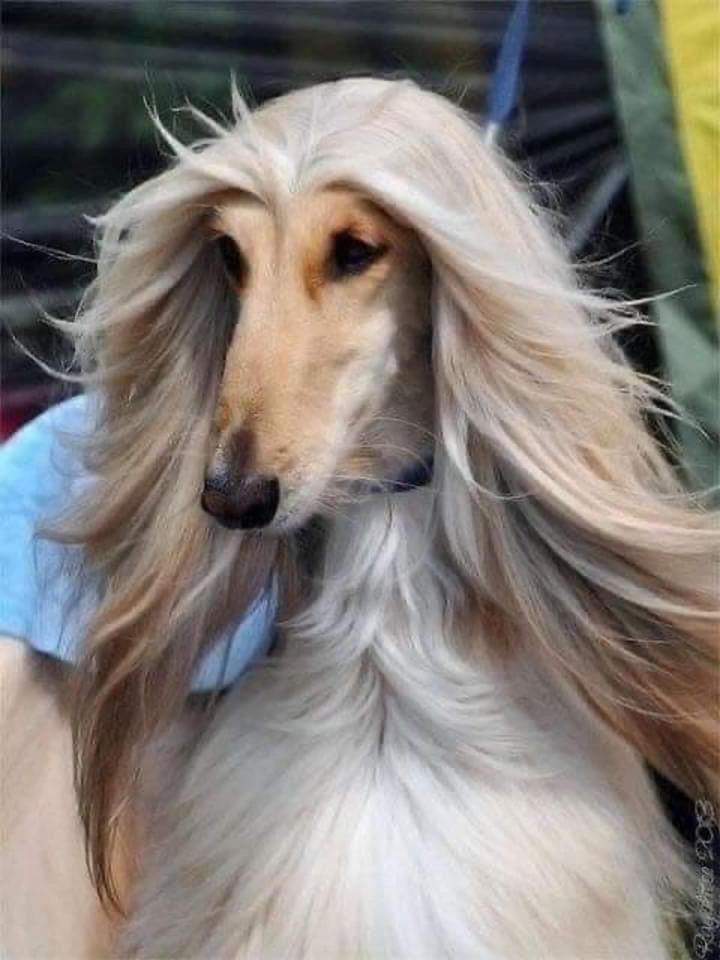 هذه الكلبة صاحبة أجمل شعر في العالم In 2020 Afghan Hound Afghan Hound Puppy Tiny Baby Animals