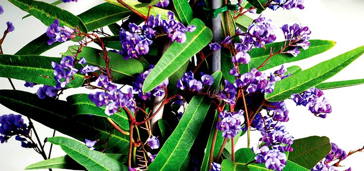 Suitable for growth all over Australia, the Hardenbergia is a purple, pink or white flowering native creeper that likes sunny or semi-shaded positions. Being an evergreen climber, it can grow up to six metres and features an abundant amount of pea-like flowers.