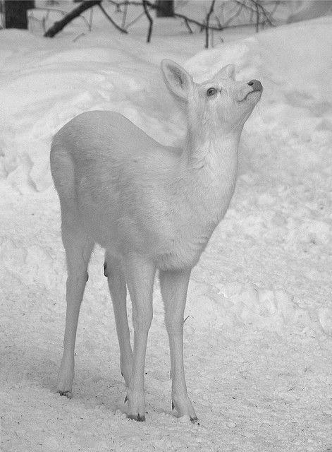 Blackandwhitecreatures albino deer winter scenery for Deer scenery