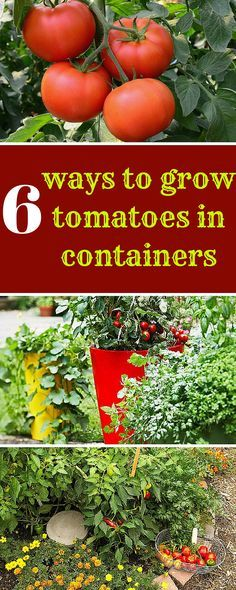 Tomatoes are the perfect crop for small spaces: rewarding, productive and…