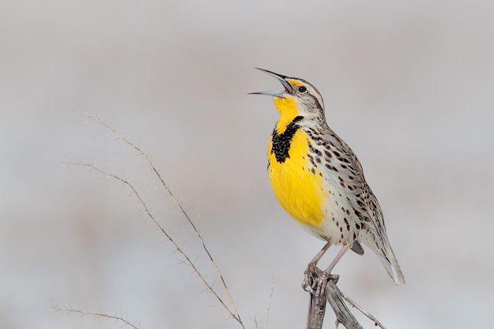 Western Meadowlark - Nebraska's state bird