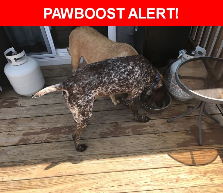 Is this your lost pet? Found in Wichita, KS 67235. Please spread the word so we can find the owner!  Both male GSP and female blonde lab found in Coppergate Estates pond (135th & 13th).  Near N 135th St W & W Willoughby Dr