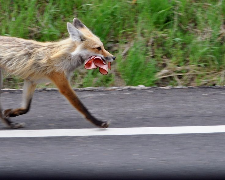 Following years of persecution by Boggis Bunce and Bean Fantastic Mr Fox has reportedly moved on to other means of feeding his family - processed lunchmeat is now his choice for stolen goods.