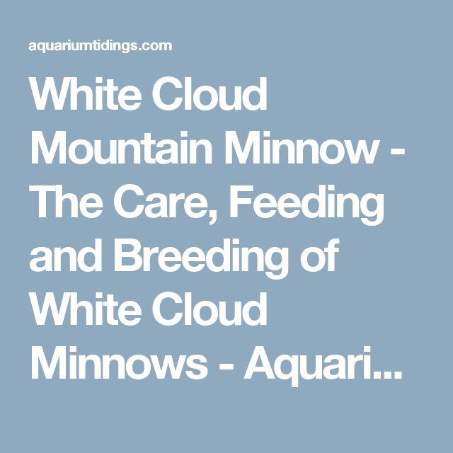 White Cloud Mountain Minnow - The Care, Feeding and Breeding of White Cloud Minnows - Aquarium Tidings