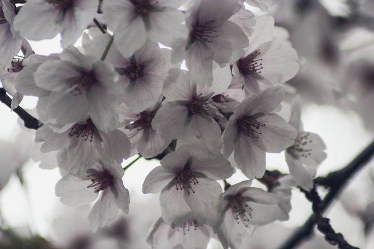 cherry-blossoms-toronto-high park