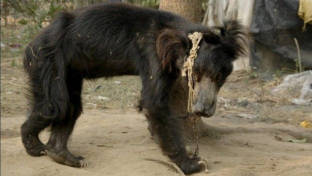The Last Dance: After centuries of exploitation and cruelty, Indians are now releasing their dancing bears. Amrit Dhillon reports.    Read more: http://www.theage.com.au/world/the-last-dance-20130422-2iadn.html#ixzz2RJxrOanB