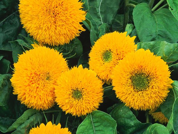 Teddy Bear sunflowers produce a soft, fluffy, cushion like flower on shorter bushy plants. Golden yellow fully double 6 inch blooms are well suited for mild borders, containers and bouquets. Ripe heads are attractive to birds.