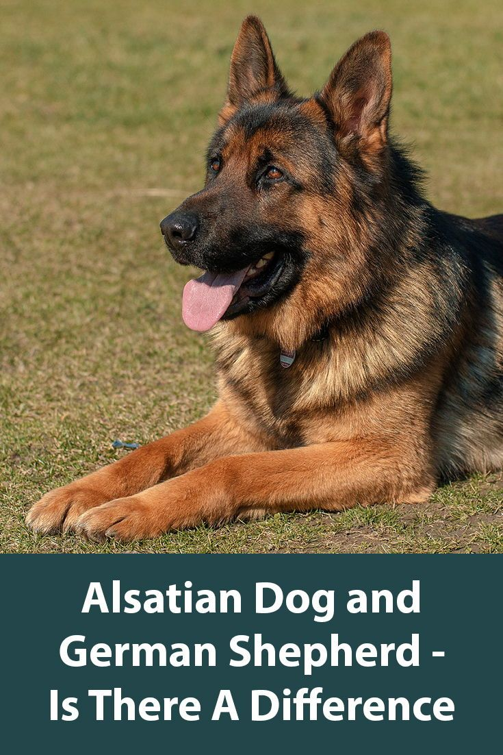 The Alsatian Dog Is This A Real Breed Alsatian Dogs German