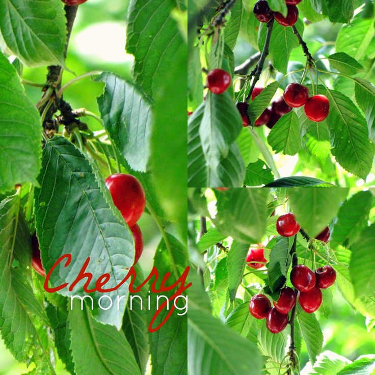 Bebaty: Cherry morning