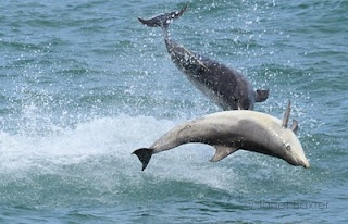 Dolphins at Mwnt
